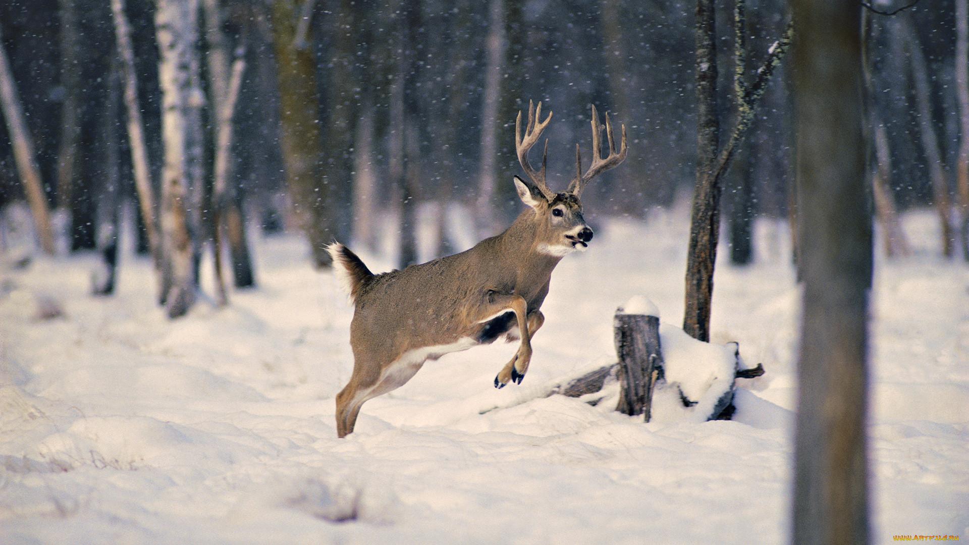 обои на рабочий стол олени в зимнем лесу